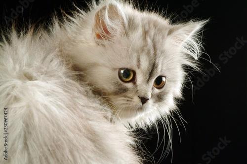Kitten - 230967424