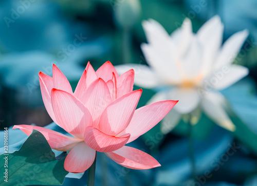 Lotus Flower And Lotus Flower Plants Buy Photos Ap Images