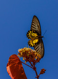 Common Birdwing Troides helena  and blue sky