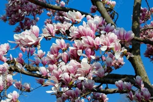 Foto Murales Magnolia