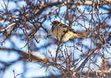 Sparrow on a tree branch against a blue sky - 230979834