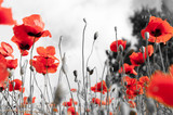 Poppy field as a symbol of Remembrance. - 230986649