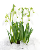 Snowdrop flower isolated on white.