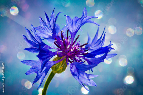 Blue cornflower super close-up with large areas of blur  - 230997085