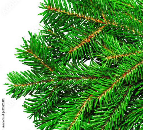 Fir branch isolated on white background - 231002410