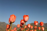 SRINAGAR, INDIA April 2017 : Beautiful colorful tulips in Tulip Festival  - 231003606