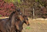 Köpfe von 2 braunen Fohlen im Herbst nebeneinander  - 231006444