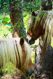 portrait of two blond horses in the forest - 231012288