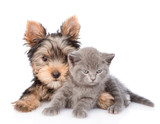 Little yorkshire terrier and baby kitten lying together. isolated on white background
