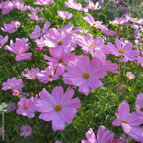 pink cosmos flower blooming in the field, - 231024481
