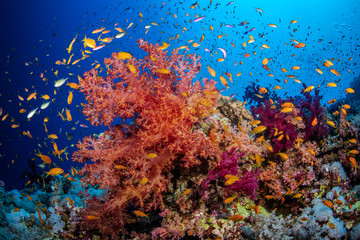 Bunte Korallen an einem Korallenriff im Roten Meer, Ägypten