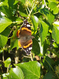 Red Admiral spread-eagled