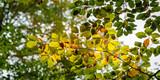 Laub Blätter Buche Baum im Herbst - 231033477