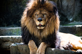 Lion posing at the zoo.  - 231045871