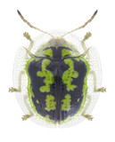 Beetle Cassida circumdata on a white background