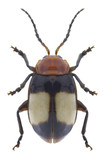 Beetle Phygasia ornata on a white background