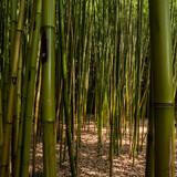Bamboo reed bed in the garden of villa garzoni, collodi, tuscany