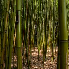 Bamboo reed bed in the garden of villa garzoni, collodi, tuscany © zenzaetr
