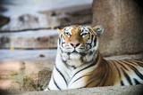 Tiger posing at the zoo.