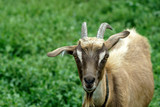 organic food goat family on natural grazing - 231057217