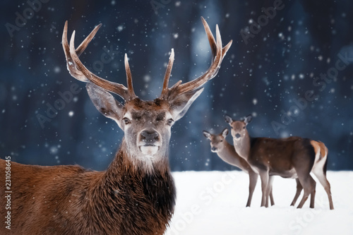 Noble deer in the winter forest. Winter wonderland. - 231058645