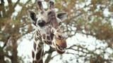 Kauende Giraffe - 231060882