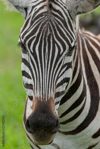 Portrait of Grant's Zebra in NgoroNgoro conservation area, Tanzania