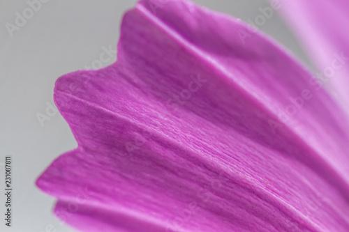 cosmos flower bipinnatus close up  - 231087811