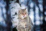 Beautiful wild cat in winter - 231096454