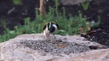 Blue-faced honeyeater grabbing a mealworm to eat and then flying away. - 231097442