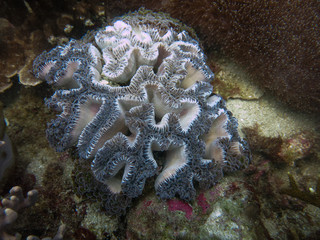 Bubble coral found at coral reef area at Tioman island, Malaysia
