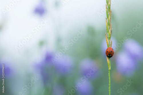 Ladybird with dew on a straw early morning, harebells in the background