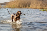 Brown Pointer running in shallow water, with stick in mouth - 231126087