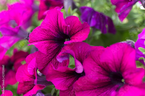 Dark purple petunias on blur background. Close up flowers. - 231128861