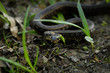 Natrix, Snake, Colubridae in the forest, close up.
