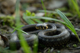 Natrix, Snake, Colubridae in the forest, close up. - 231130413