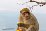 Barbary macaque on Gibraltar - 231148455