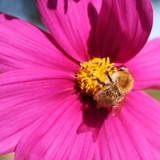Honey bee on pink Cosmos flower. Cosmos Bipinnatus in the garden - 231158053