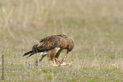 Common Buzzard eating - 231162658