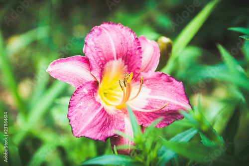 Foto Murales Day-lily flower in the garden. Shallow depth of field.