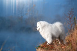 A large white dog stands in the morning on the banks of the river in Siberia. Heavy fog. The concept of beauty and tranquility. - 231165278