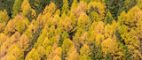 Pine Forest Texture.  Texture of coniferous forest (Larix sibirica). - 231168800