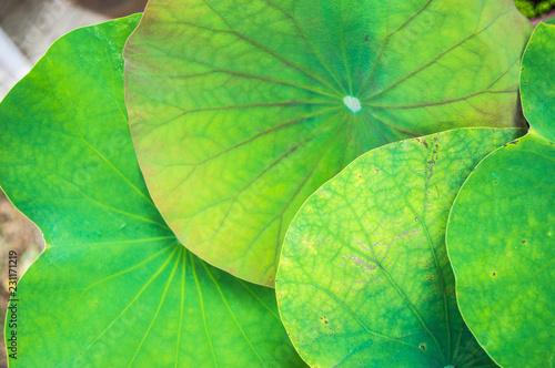 Leinwandbild Motiv The leaves of the lotus overlap.