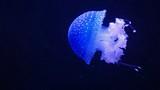white spotted blud jellyfish in the dark ocean - 231177242