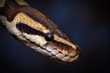 snake - 231182636