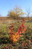 bright autumn bush on meadow - 231183848