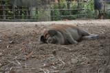 Cochon sommeil - 231195258