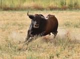 toro en el campo - 231212071