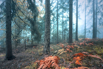 Beautiful foggy autumn season colored forest landscape. © robsonphoto