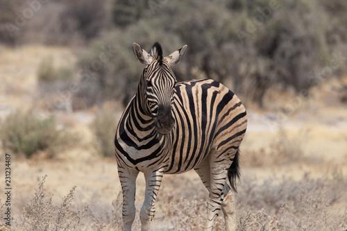Schauendes Zebra